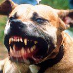 vicious-pitbull1.jpg